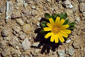 yellow flower green leaves coming out of rocks